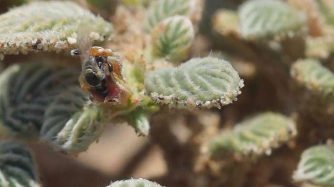 Curiosidades de la naturaleza: las hormibejas